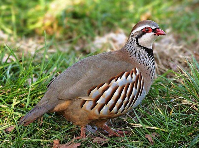 chukar-partridge-002.jpg